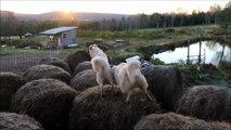 Mieux que saute mouton, saute ballots de paille! Chiens trop marrant