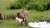 Kangurular Nasıl Çiftleşir Hayvanlar Alemi İzle