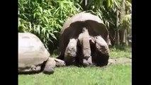 Kaplumbağalar Nasıl Çiftleşir Hayvanlar Alemi İzle