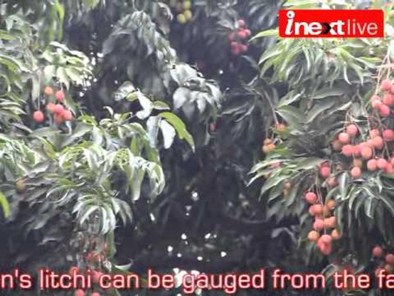 Dehradun Litchi production set to rise
