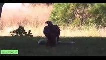 León vs Serpiente y la Serpiente vs Águila   Real de la Lucha de la Mayoría de los Increíbles Animales Ataque