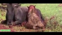 15 más LOCA de Ataques de Animales Capturados En Cámara | Más Increíble de Animales Salvajes Ataques