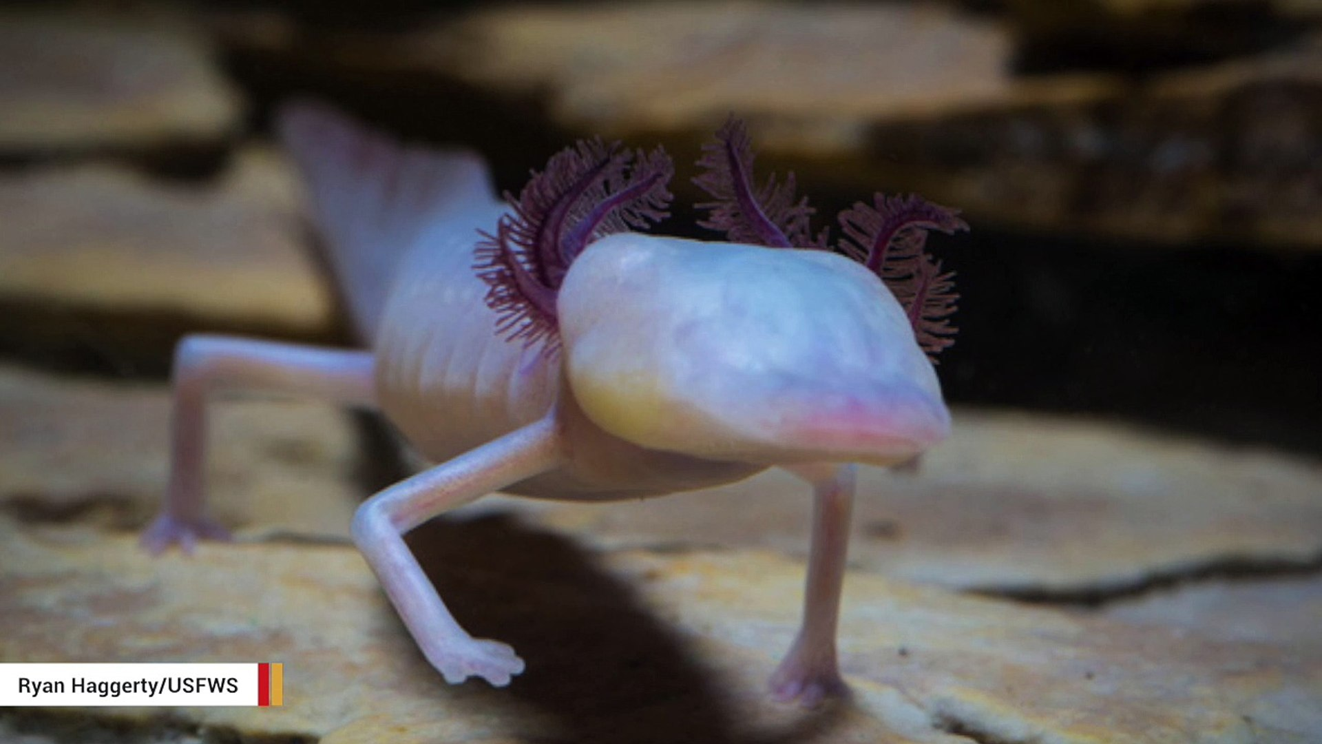 This Blind Salamander Is The Cutest Creepiest Creature You Will See Today Video Dailymotion