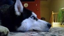 Ce husky semble passionné par ce film sur les Huskys