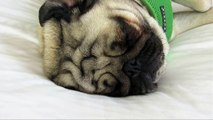 Spoiled Pugs Sleeping on a Hotel Bed