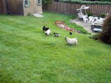 Three pugs and three pug puppies playing outside