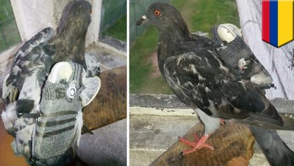 Un pigeon fait entrer un mobile et une clé USB de contrebande en prison