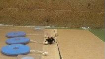 Intelligence animale : un bourdon apprend à tirer une ficelle !