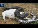 Biggest Snakes Everseen | Giant Snakes in the World found Alive | AR Entertainments