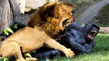 Most Amazing Animals Real Fight - Gorilla, Bear, Lion - Funny Animals Attacks