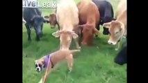 Las vacas locas. Divertido video clip #2