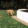 Il pilota di Formula 1 Lewis Hamilton spaventa una tigre per gioco. Ecco cosa succede: