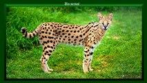 21 espèces de chats sauvages dont vous ne soupçonniez sans doute pas l'existence
