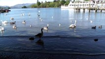 00036 May 2014 Swans & ducks at Lake Windermere District the biggest lake in Cumbria unedited video