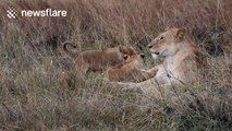 Lioness defends cubs from swooping eagle