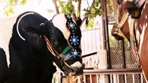 Story Of Bakra Eid Animals (Social Media Edition) | Bakra Eid 2016 | 3 Idiotz Pakistan