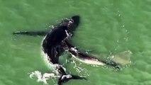 Vidéo. Piégée sur un banc de sable, une baleine à bosse est sauvée par son petit baleineau