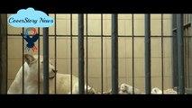 Four rare white lions were born in a private Polish zoo