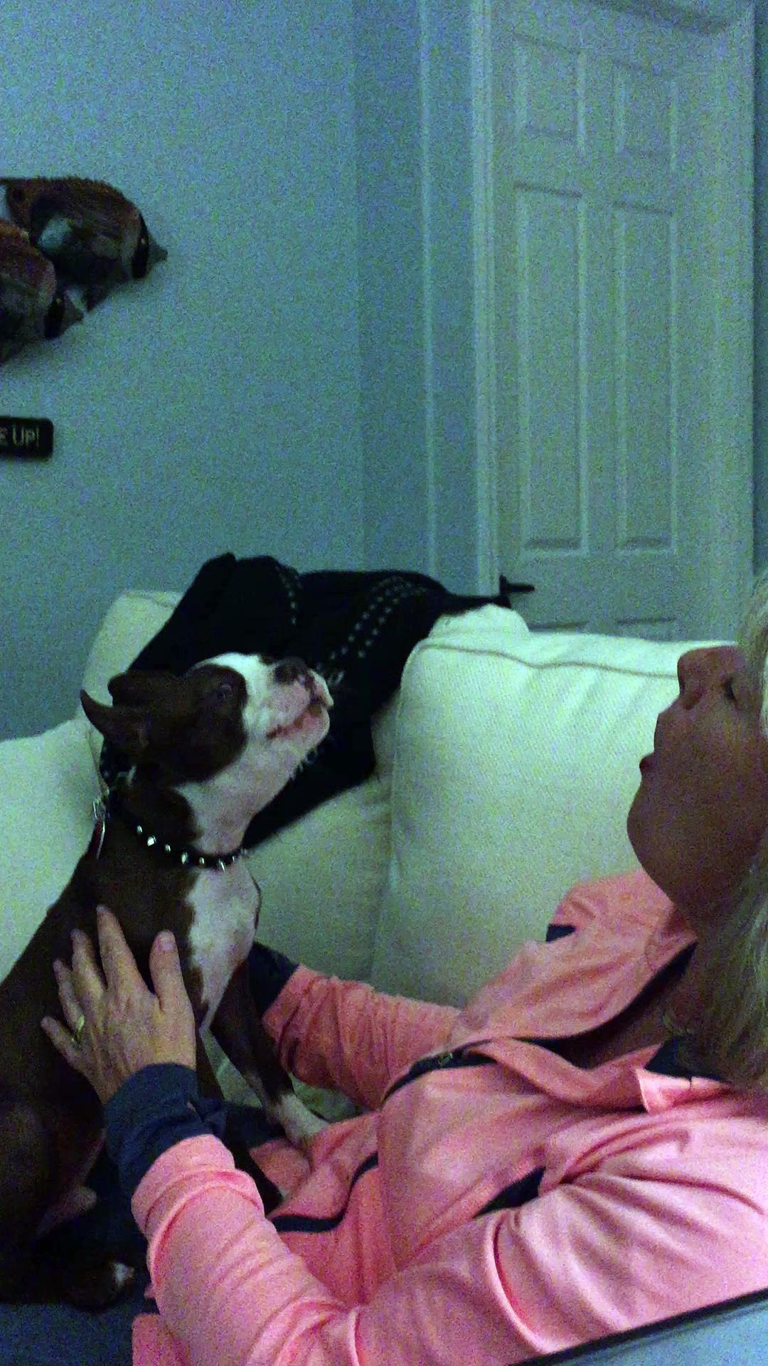 Boston terrier singing