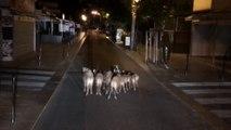Une dizaine de sangliers se balade en plein centre-ville