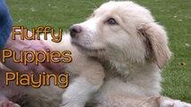 Great Pyrenees puppies play at animal shelter