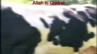 Allah Ki Qudrat Heaviest Cow Qurbani 2016 Karachi Pakistan Mandi Bakra Eid 2016 new songs 2016 new bollywood songs