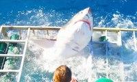 Un plongeur qui filmait dans une cage de requin sort miraculé lorsque celui-ci enfonce la cage !