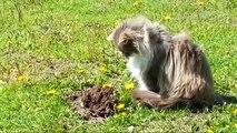 Un chat aperçoit une taupe qui sort du sol, et sa réaction est tout simplement hilarante... Impossible.