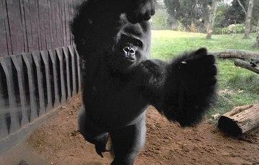 """伦敦动物园大猩猩冲破牢笼""""越狱""""惊动武警追捕"""