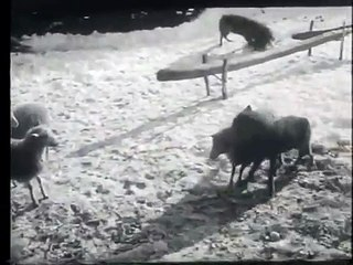 Dog fights with two wolves