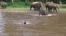 Un homme est sauvé de la noyade par un éléphant dans une rivière déchaînée !