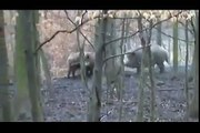 Pitbull vs wild boar. hunting wild boar vs Dog || did you watch hunting wild boar by that