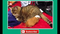 Sharon funny Funny cat vines - Ultimate funny vines with cats compilation 2014 - Funny Videos