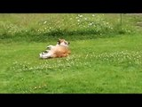 Boris puppy - Boris is playing with a stick