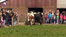 Emouvant: des vaches découvrent l'herbe pour la première fois