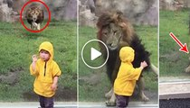 Terrifying Moment Lion Wants To Make Little Child Their Food