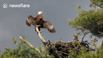 Bald eagle spreads its wings to cool off on top of a tree