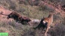 León vs Tigre a Muerte, León vs Buffalo Pelea Real# la Mayoría de los Increíbles Animales Salvajes Ataques de Animales Salvajes T