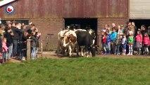 Ces vaches étaient restées enfermées pendant 6 mois sans voir le ciel, mais regardez leur réaction quand l'homme leur ou