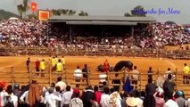 Most Awesome Buffalo Fighting Festival #2  - CRAZY Buffalo Fails - Funny videos  2016