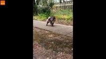 Croiser un Koala portant son bébé sur un trottoir en Australie... Normal !