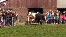Après 6 mois d'enfermement, ces vaches voient enfin la lumière du jour