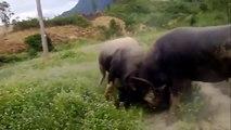 BUFFALO FIGHTING FESTIVAL | Most Amazing Wild Animals Attacks | Funny videos funny animals #3
