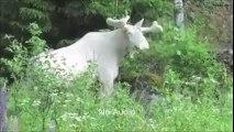 Un renne complètement blanc et albinos filmé au Canada!