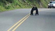 Quand tu tombes sur 2 bébés ours qui jouent au milieu de la route