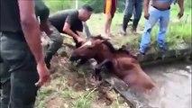 Sauvetage d'un cheval piégé dans les eaux déchainées