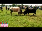 Very very Dangerous Bulls Fight video- Best animal fights viral videos 2016#ZingHolic