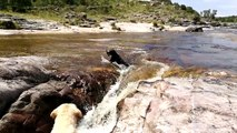 Un labrador attrape son pote qui est emporté dans une gigantesque cascade avec un bâton dans la gueule !