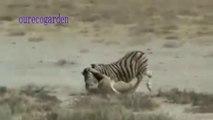 Animals Attacks On Lion Buffalo vs Lion vs zebra Animal attack Prey Fight back - YouTube