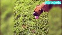 Komik Köpek Videoları 2016 Gülme Garantili Sevimli Köpekler Topu Yakalamaya Çalışırken Havuza Düşen Komik Köpek